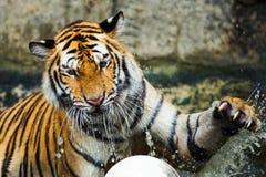 Tiger. Zoo in a Thailand Stock Photos