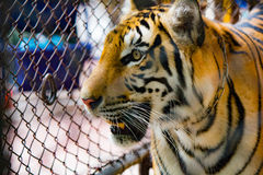Tiger in zoo. In Thailand Royalty Free Stock Image