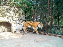 Tiger in zoo Royalty Free Stock Photography
