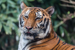 Tiger in a zoo Stock Image