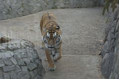 Tiger in the zoo. Walking on the tracks Stock Photo