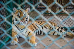 Tiger in the zoo. Royalty Free Stock Images