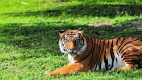 Tiger in zoo watching Royalty Free Stock Images