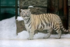 Tiger in zoo. In winter time Royalty Free Stock Photos