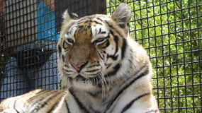 Tiger in the zoo. In Yalta Royalty Free Stock Photos