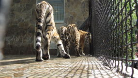 Tiger in the zoo. In Yalta Stock Images