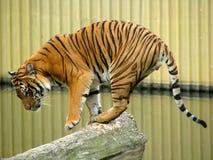 Tigerakrobat stockbild