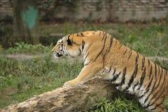 Tigeranpirschen Stockfoto