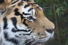 Tigeratem Stockfotos