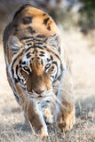 Tigerattack Fotografering för Bildbyråer