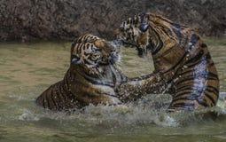 Tigerattack Royaltyfri Fotografi