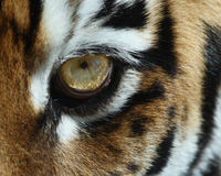 Tigerauge Stockfotos