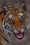 Tigerausdrücke Lizenzfreie Stockbilder