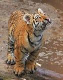 Tigerbaby curioso Foto de Stock