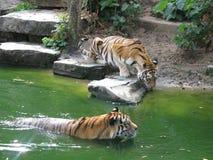 Tigerbaden Zoo Belgien Royaltyfri Fotografi