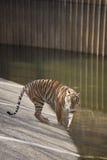 tigerbarn Arkivbild