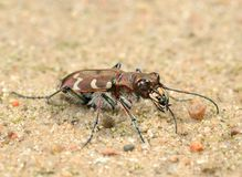Tigerbeetle Royalty Free Stock Photography