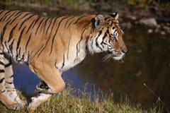 Tigerbetrieb lizenzfreies stockbild