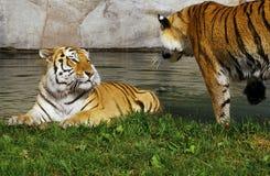 Tigerbrüder Lizenzfreie Stockbilder