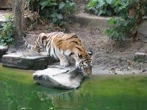 Tigerdrinkarna bevattnar Zoo Belgien Royaltyfri Fotografi