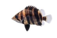 Tigerfish Royaltyfri Bild
