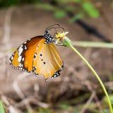 Tigerfjäril på den gula blomman Arkivfoto