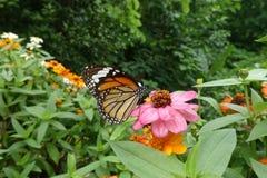 Tigerfjäril på den rosa blomman Arkivfoton