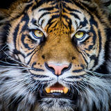 Tigerframsida Arkivfoto