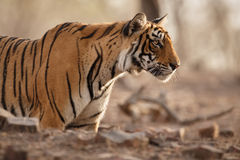 Tigerframsida Royaltyfria Foton