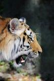 Tigerframsida i profil Löst fä, djur Arkivbild
