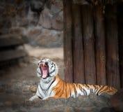 tigergäspning Fotografering för Bildbyråer