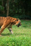 Tigergehen Lizenzfreies Stockfoto