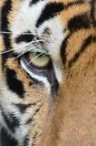 Tigergesicht Stockfotografie