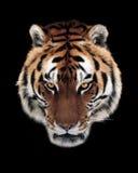 Tigergesicht lokalisiert am Schwarzen Stockfotos