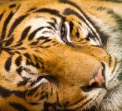 Tigergesichtsnahaufnahme Lizenzfreies Stockfoto