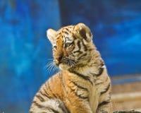 Tigergröngöling Arkivfoto