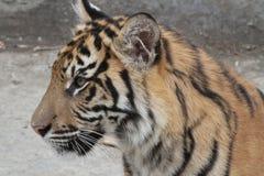Tigergröngöling royaltyfria bilder