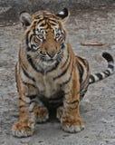 Tigergröngöling royaltyfri fotografi