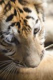 Tigergröngöling Arkivbild