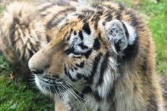 Tigergröngöling Fotografering för Bildbyråer