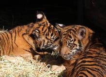 Tigergröngölingar Fotografering för Bildbyråer