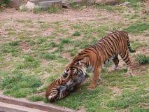 Tigergröngölingar spelar i en zoo Arkivbild