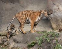Tigergröngöling som spelar med svansen för mamma` s Royaltyfria Foton