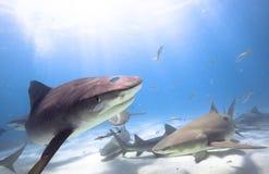 Tigerhai, Zitronenhai lizenzfreies stockfoto