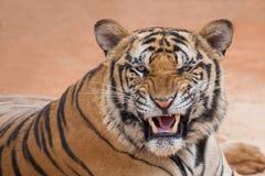 Tigerhandling stänger sig farligt upp ståenden av tigern för attack arkivbild