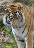 Tigerhuvud som ser lämnat Arkivfoton