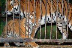 Tigerin mit Tigerjungem in einem Zookäfig Stockbild