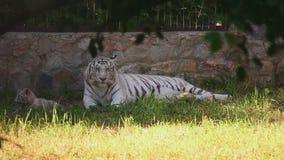 Tigerin und ihre Jungen stock video footage