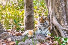 Tigerinporträt Lizenzfreies Stockbild