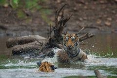 Tigerjunge, die im Wasser mit Spritzen k?mpfen und spielen lizenzfreie stockfotografie